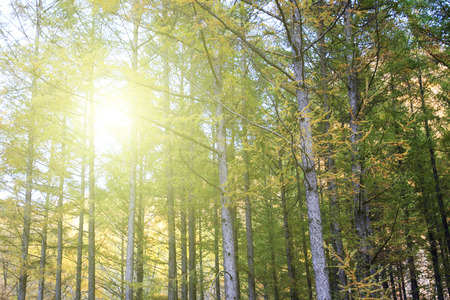 arbol de pino: �rbol de pino, de cerca de foto