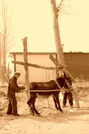 bundling: LUANNAN COUNTY  MARCH 23: Craftsmen giving a donkey shod on march 23 2014 luannan county hebei province china Editorial