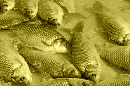 crucian carp: crucian carp in a market, closeup of photo Stock Photo