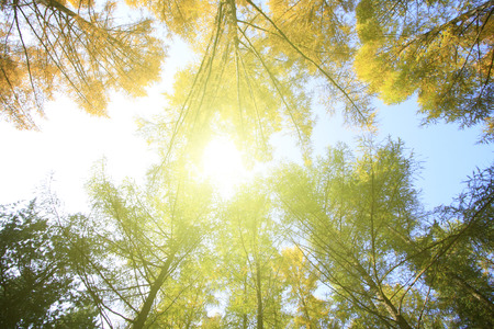 irradiation: Pine branches in the sky