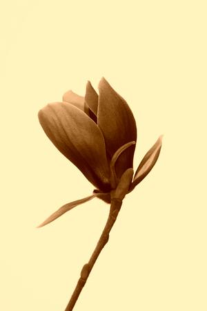 garden features: closeup of magnolia flower in the sky Stock Photo