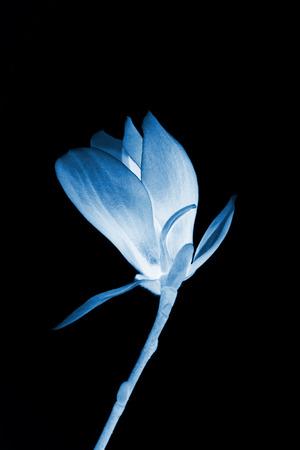 flower gardens: Primer plano de flor de magnolia en el cielo