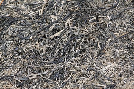 ash: Straw ash, closeup of photo Stock Photo