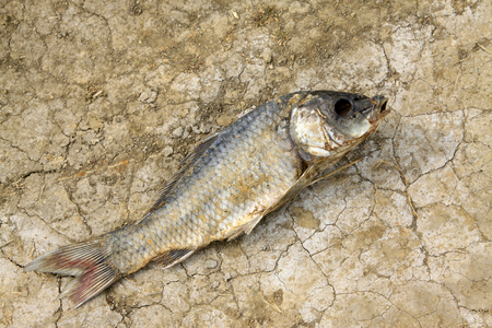 desiccation: dead fish on the ground, closeup of photo
