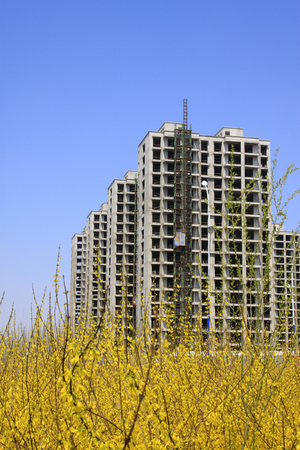 uncompleted: Unfinished buildings and forsythia flowers blooming, closeup of photo