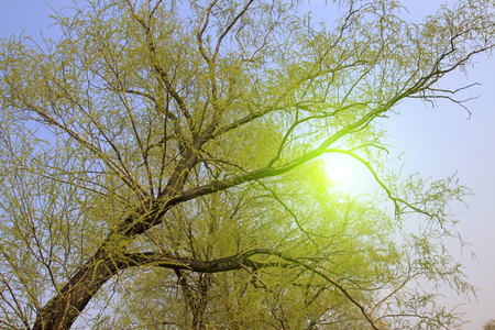 dazzle: Bright yellow willow in the blue sky, closeup of photo Stock Photo