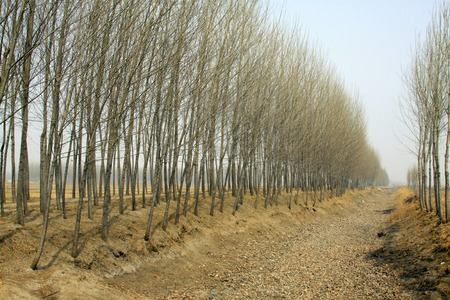 poplar: Poplar and dry ditch Stock Photo