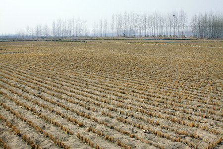 residue: rice straw residue in the field