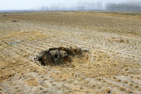 derrumbe: Colapso del campo de arroz en la naturaleza Foto de archivo