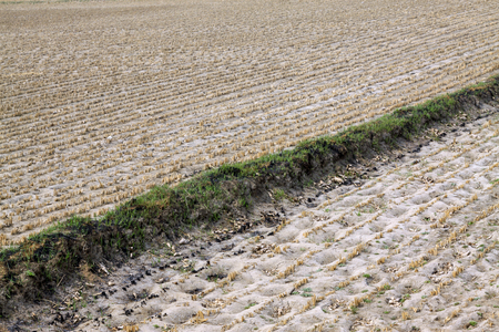 residue: rice straw residue in the field, closeup of photo