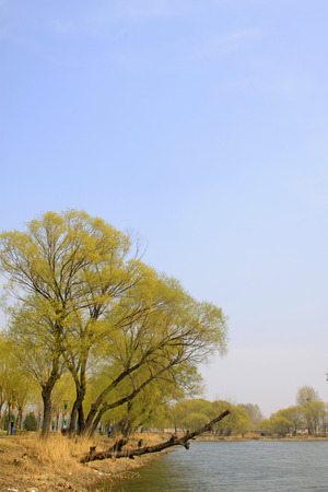 Willow by the river, natural scenery, closeup of photo