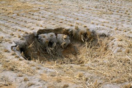 derrumbe: Colapso del campo de arroz en la naturaleza, primer plano de la foto