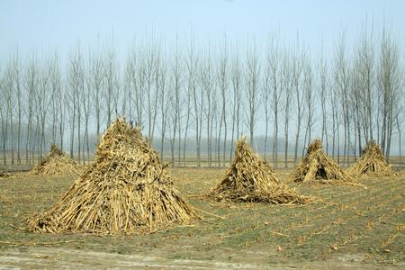 poplars: Corn stalk and poplars, closeup of photo