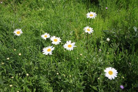 garden features: White flowers in the garden, closeup of photo