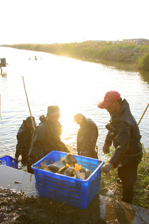 aquatic products: Luannan - May 12: fishermen are fishing for freshwater fish in the pond, on May 12, 2015, luannan county, hebei province, China