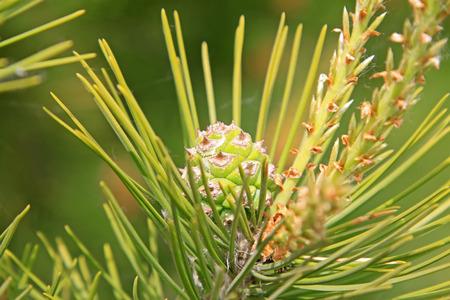 pine  fruit: pine tree fruit, closeup of photo