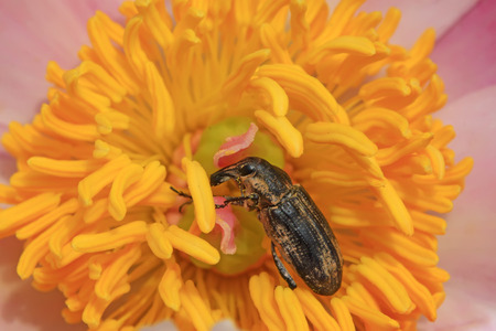 snout: snout beetle on the plant, a kind of insect has a long nose