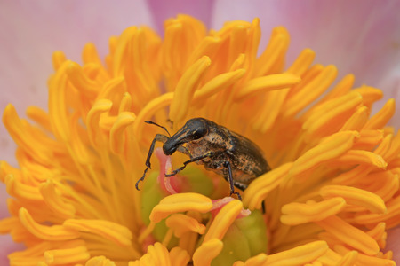 long nose: snout beetle on the plant, a kind of insect has a long nose