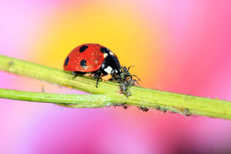 beneficial insect: lady beetle eat aphids on the plant, closeup of photo