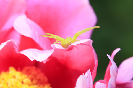 arachnids: green crab spiders on red flowers, closeup of photo