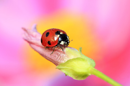 lady beetle: lady beetle eat aphids on the flowers, closeup of photo Stock Photo