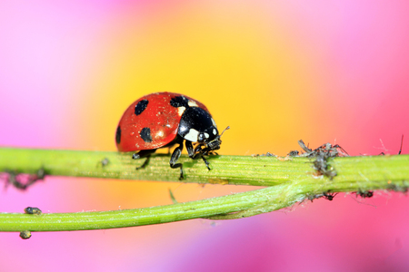 devouring: lady beetle eat aphids on the plant, closeup of photo