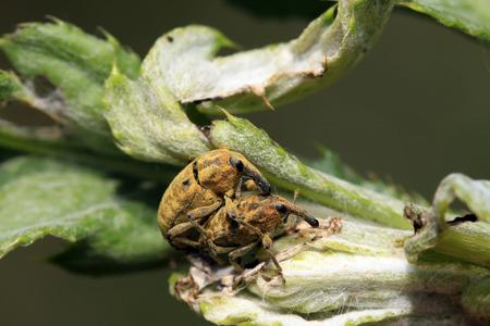 weevils: weevils mating on green leaves