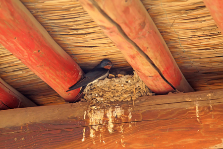 rafters: swallows nest under the eaves Stock Photo