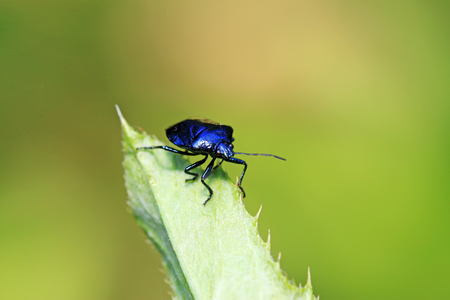Blue bugs on green leaves