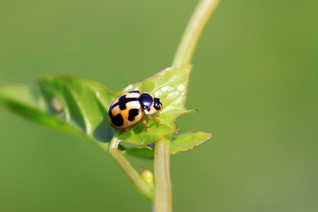 entomology: ladybird on green plant Stock Photo