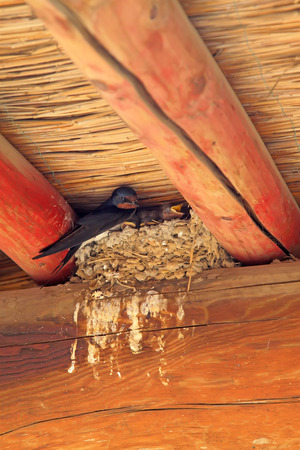 golondrinas: swallows nest under the eaves Foto de archivo