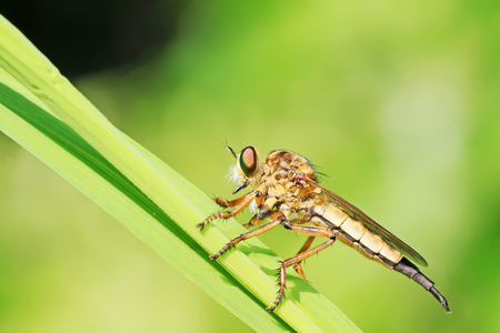 insectivorous plants: asilidae on green plant Stock Photo