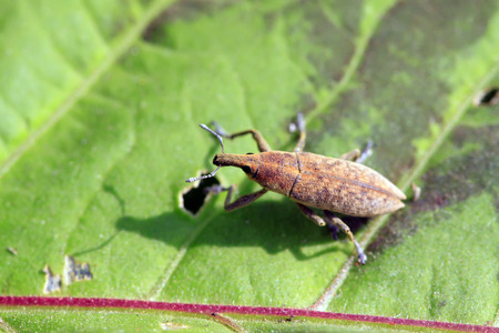 toxicity: weevil on green leaves