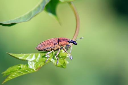 weevil on green leaves