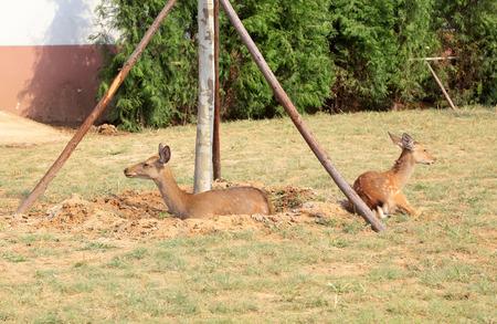 sika deer: Sika deer in the zoo