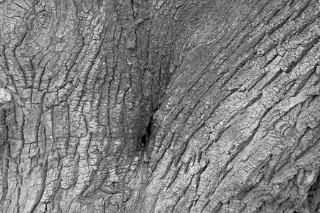 epidermis: Old willow epidermis, closeup of photo