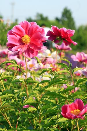 garden features: peony flower, closeup of photo