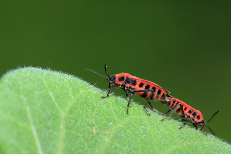 sexual intercourse: lygaeidae insect mating on green leaves Stock Photo