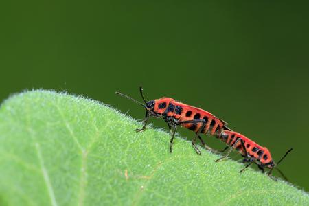 relaciones sexuales: Lygaeidae insectos de apareamiento en las hojas verdes
