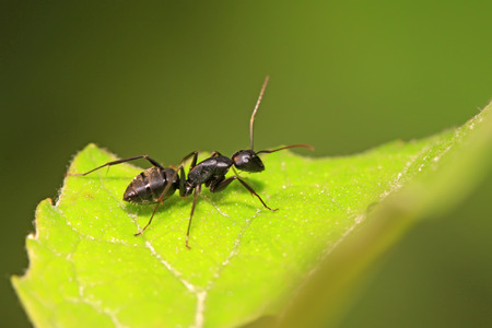 Camponotus Japonicus Mayr on plant in the wild Stock Photo