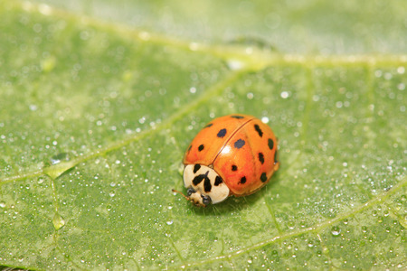 Harmonia axyridis on plant in the wild