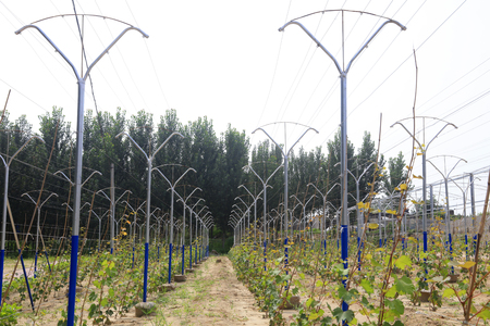 botanical farms: vineyard Stock Photo