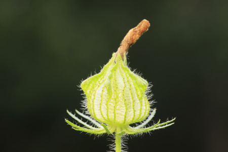 malvaceae: Malvaceae wild watermelon seedling plants