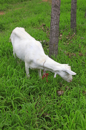 domestication: Goat in the bushes