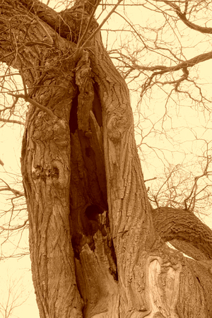 crack willow: Old willow tree stems, closeup of photo