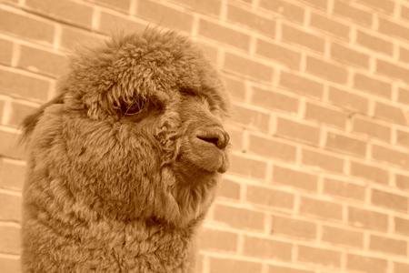 alpaca in a zoo, closeup of photo