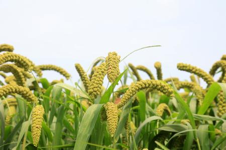 foxtail millet in the field