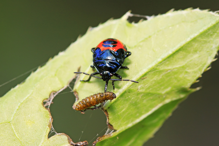 Blue bugs preying on small insects