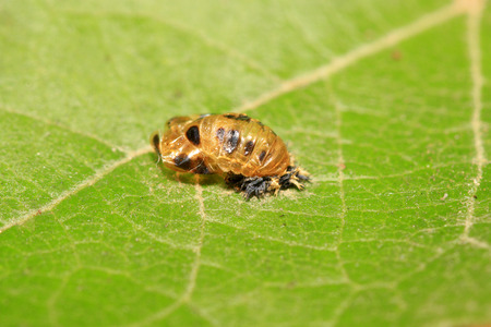 Harmonia axyridis pupa on plant in the wild