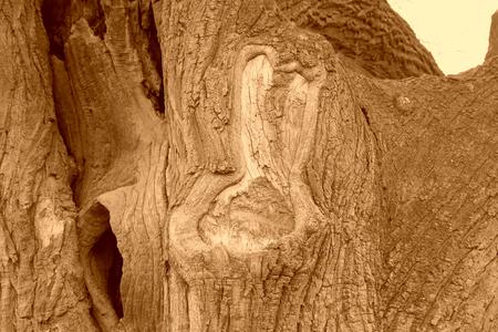 Old willow epidermis, closeup of photo